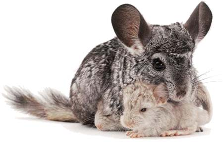 Terminology What Is Chinchilla The Dreamstress