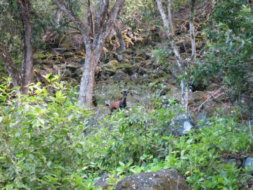 Feral goat on Moloka'i - or why I'm such a fan of hunting