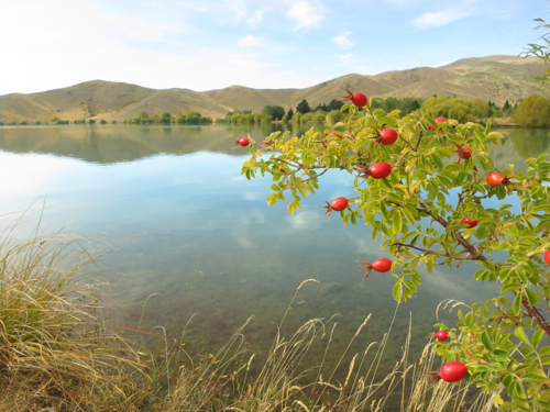 Ponds and rose-hips near Twizel, South Island New Zealand