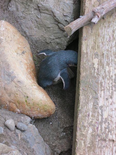 Little Blue Penguin, thedreamstress.com