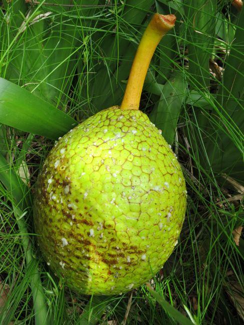 Breadfruit (ulu), Molokai, Hawaii thedreamstress.com