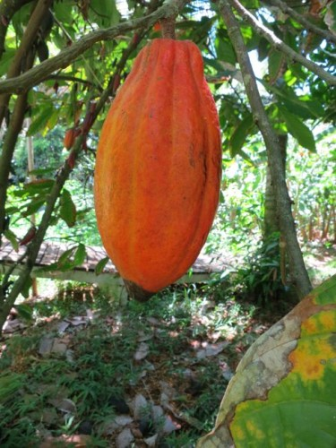 Cacao fruit, Molokai, Hawaii, thedreamstress.com