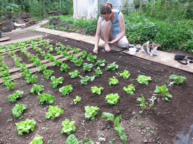 Growing lettuce, Molokai, Hawaii, thedreamstress.com