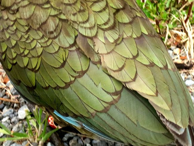 Kea, South Island New Zealand, thedreamstress.com