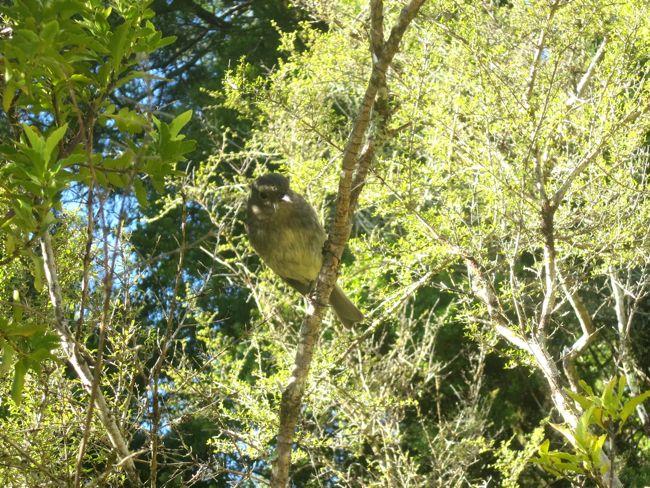 South Island robin thedreamstress.com