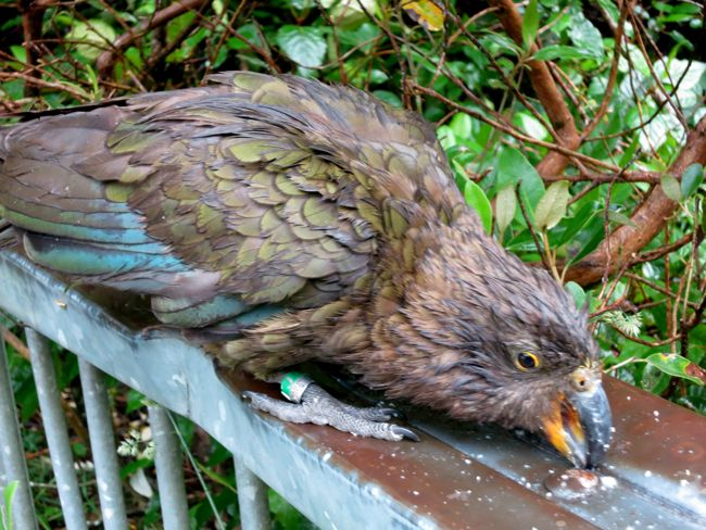 Kea, South Island New Zealand, thedreamstress.com