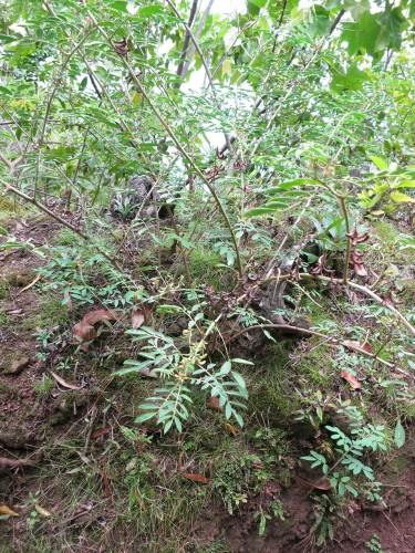 Indigo plant, Molokai, Hawaii