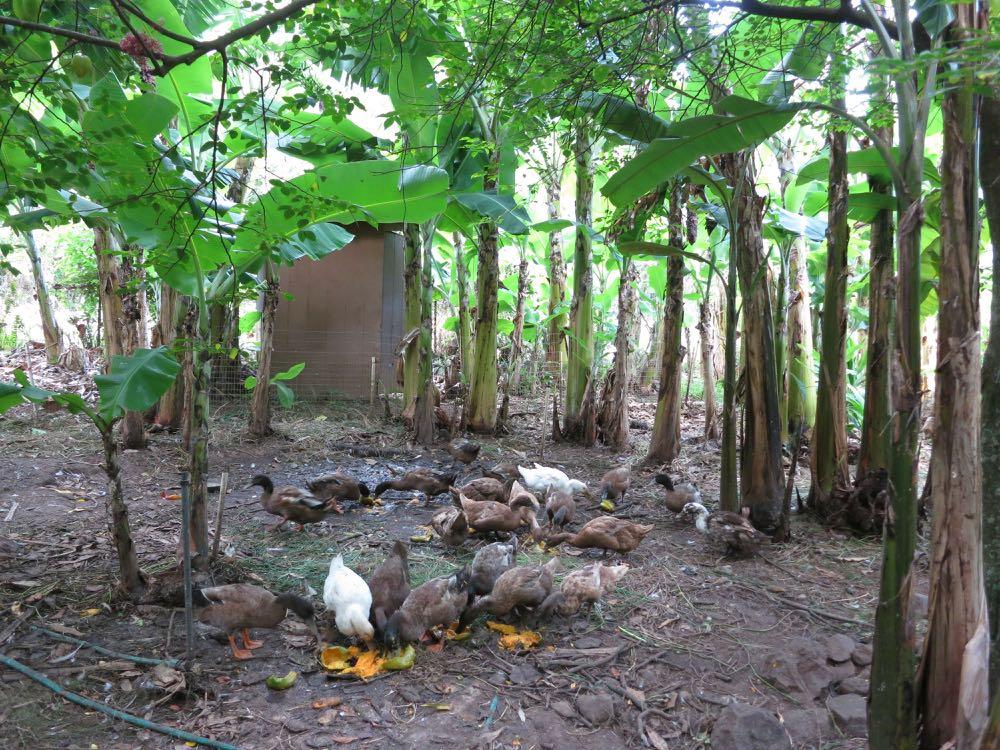 An outhouse and a flock of ducks fertilising a banana grove.