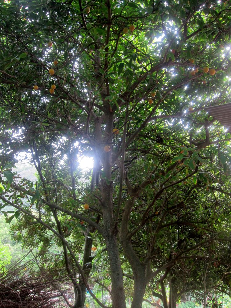 Canistel (eggfruit) tree, Hawaii, 2016, thedreamstress.com
