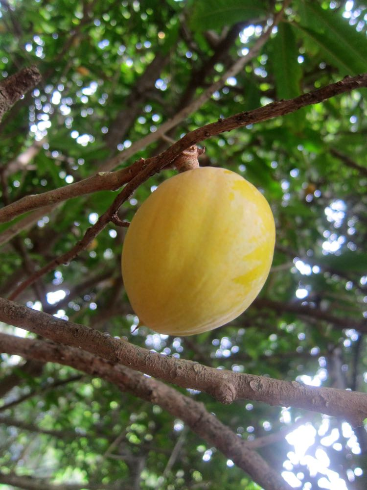 Canistel (eggfruit), Hawaii, 2016, thedreamstress.com