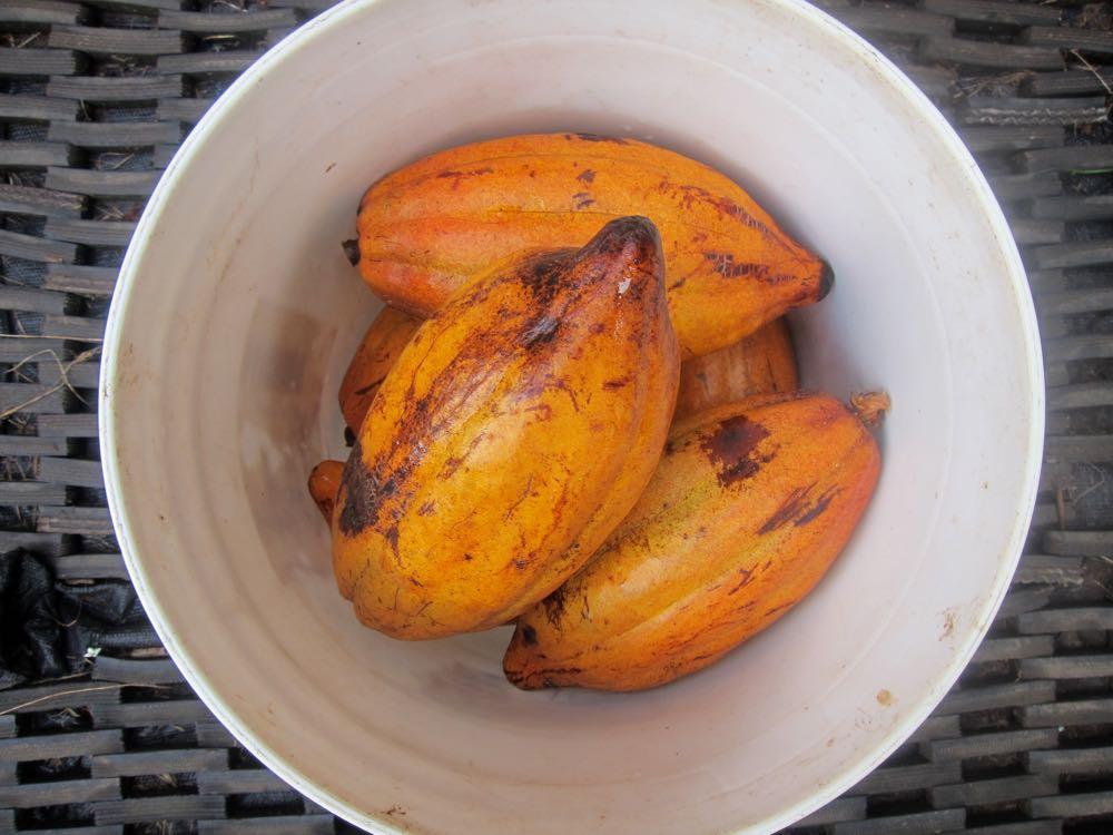 Cacao, Molokai, Hawaii, thedreamstress.com