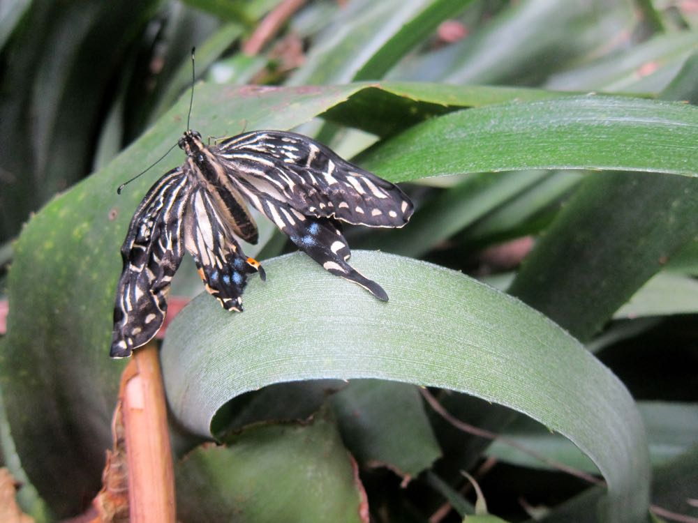 Swallowtail butterfly, Molokai, Hawaii thedreamstress.com