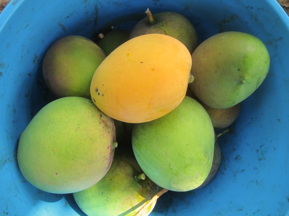 Mangoes, Molokai, Hawaii, thedreamstress.com
