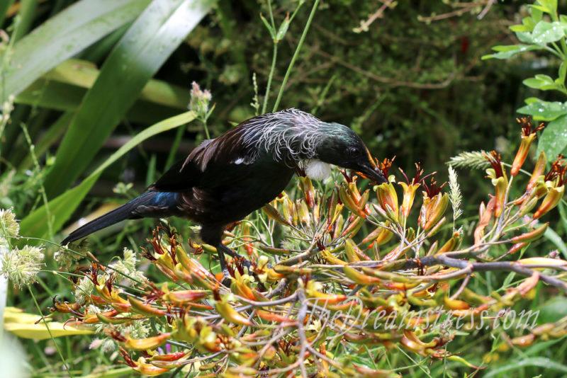 Tūi at Zealandia thedreamstress.com