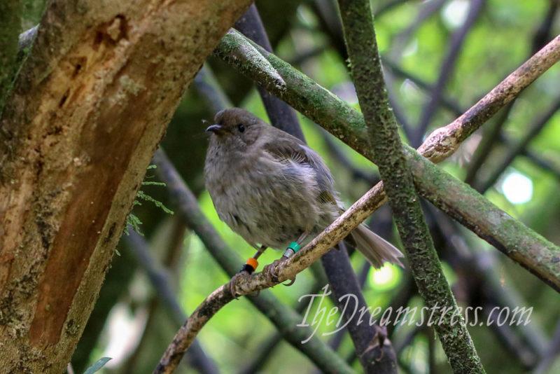 Korimako (bellbird) at Zealandia thedreamstress.com
