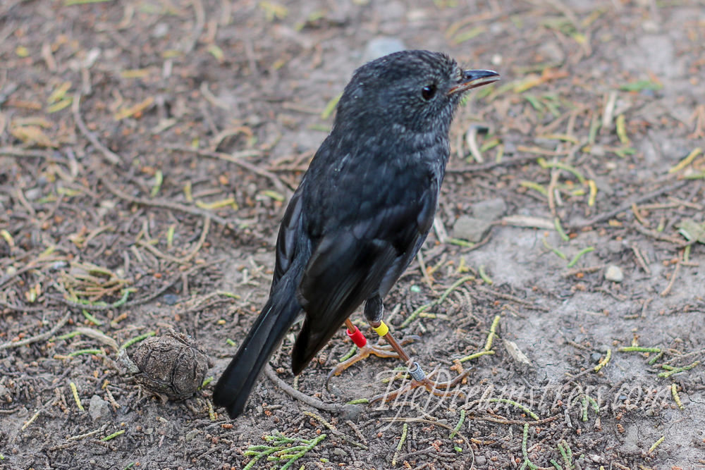 North Island Robin at Zealandia thedreamstress.com