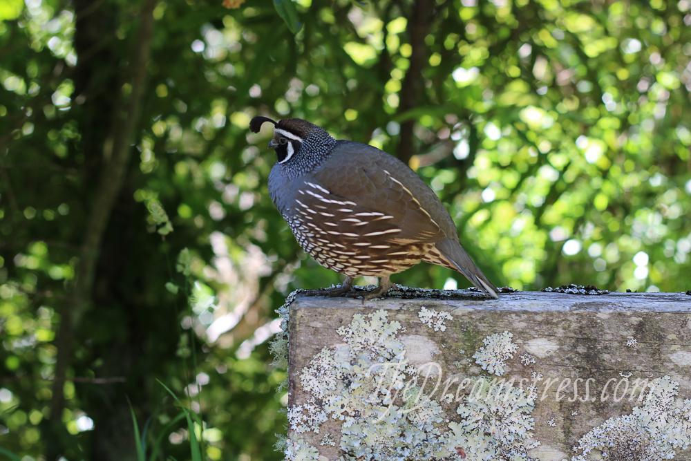 California Quail at Zealandia thedreamstress.com
